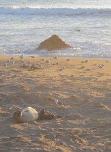 Newborn elephant seal at sunset. Did you know the seagull will eat the mom's remaining placenta? Nature, nothing wasted.
